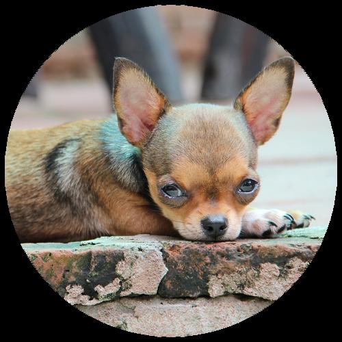 Chihuahua laying down