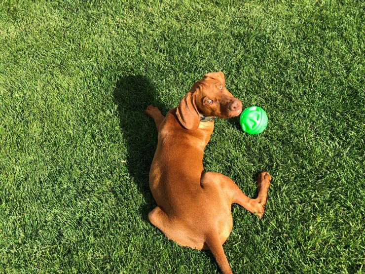 Vizla puppy playing with a ball