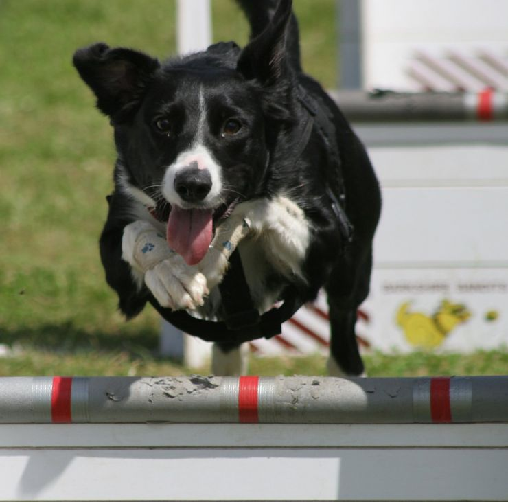 Flyball Sport and Competition