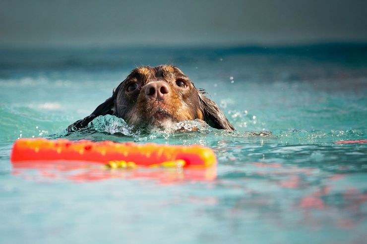 Dog swimming towards its stick in water