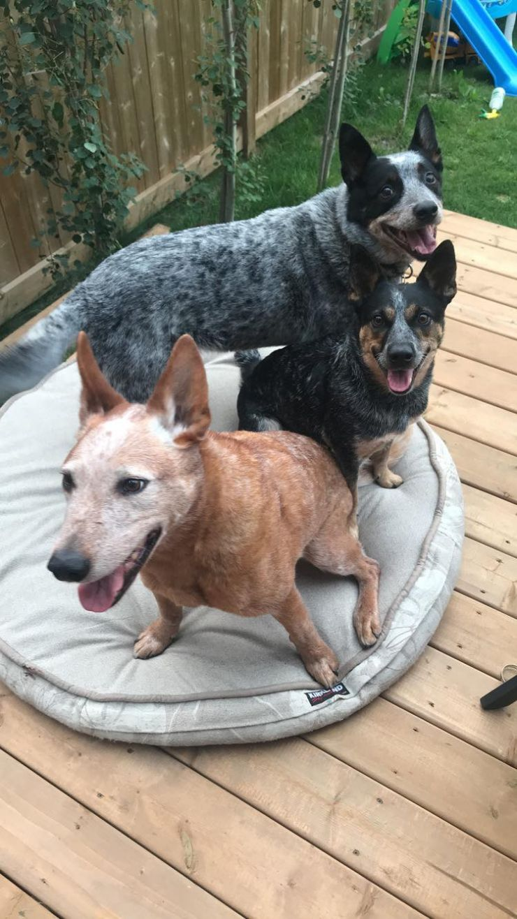 3 Australian Cattle Dogs