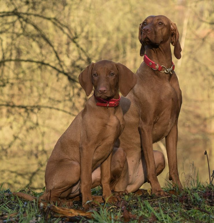 Adult Vizsla and a puppy sitting side by side