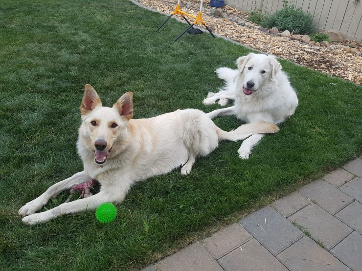 Two Dogs laying together, one is a white german shepherd, the other is a retriever